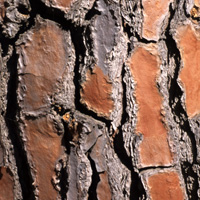 Pinus pinea tronc (3)